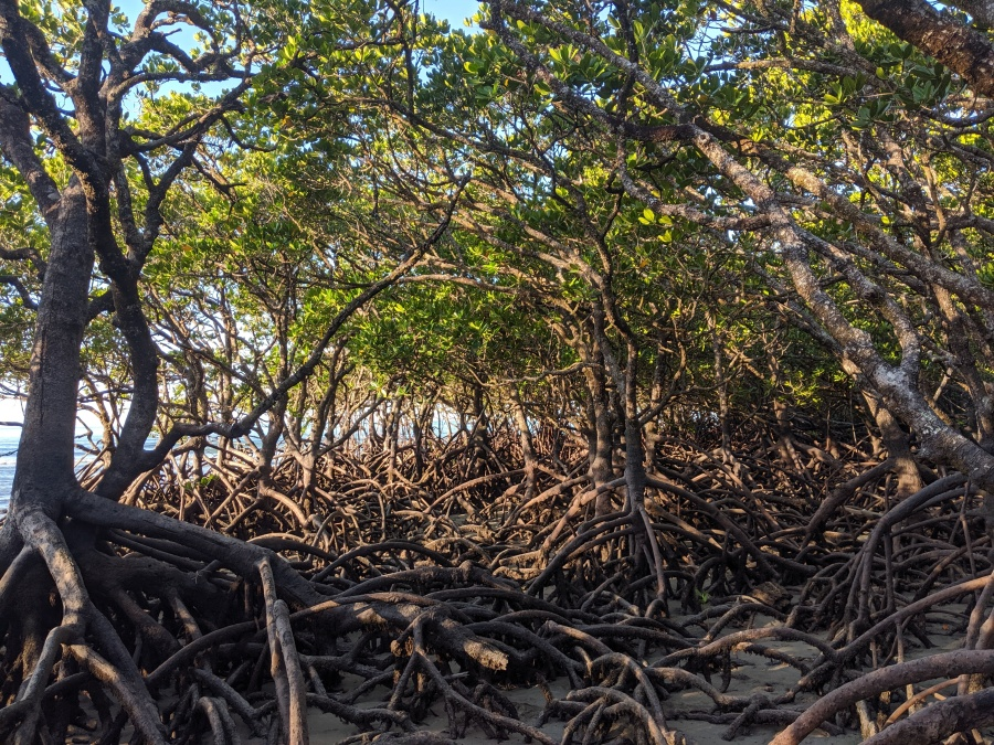 Mangroves in the Daintree Rainforest