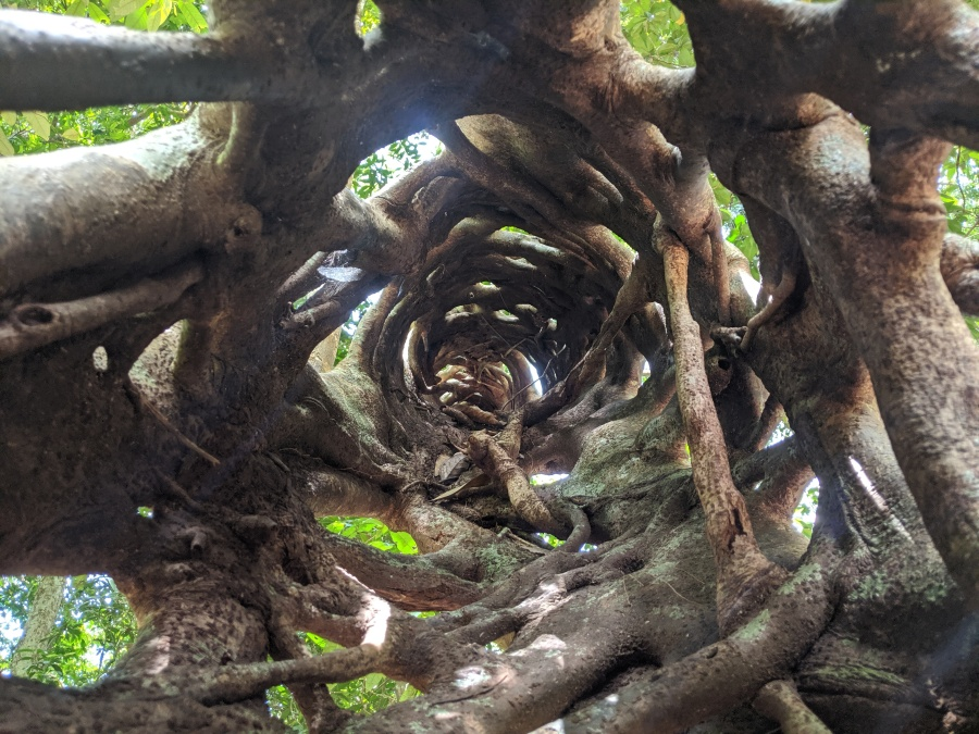 A strangler fig in the Daintree Rainforest