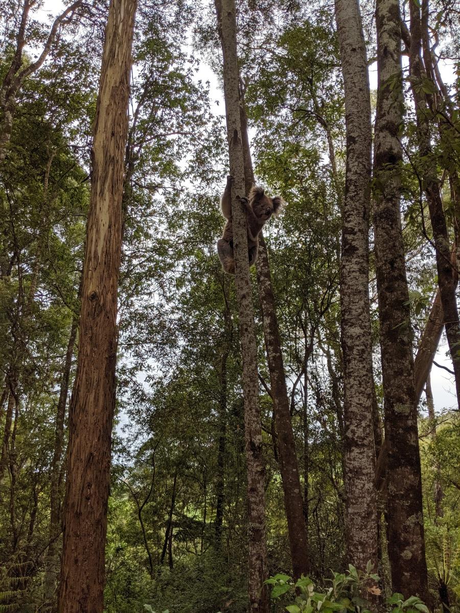 Wild Koala Bear in the Great Otway National Park